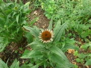"echinacea • <a style=""font-size:0.8em;"" href=""http://www.flickr.com/photos/99468393@N08/20051884172/"" target=""_blank"">View on Flickr</a>"