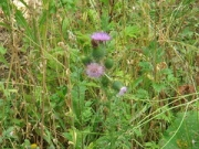 "thistle • <a style=""font-size:0.8em;"" href=""http://www.flickr.com/photos/99468393@N08/20033463526/"" target=""_blank"">View on Flickr</a>"
