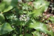 "a6 wild garlic • <a style=""font-size:0.8em;"" href=""http://www.flickr.com/photos/99468393@N08/40577972095/"" target=""_blank"">View on Flickr</a>"