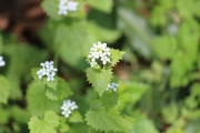 "a8 Garlic Mustard • <a style=""font-size:0.8em;"" href=""http://www.flickr.com/photos/99468393@N08/41428241072/"" target=""_blank"">View on Flickr</a>"