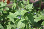 "a9 Green alkanet • <a style=""font-size:0.8em;"" href=""http://www.flickr.com/photos/99468393@N08/41470877961/"" target=""_blank"">View on Flickr</a>"
