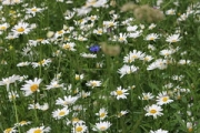 "Ox Eye Daisies • <a style=""font-size:0.8em;"" href=""http://www.flickr.com/photos/99468393@N08/27530481731/"" target=""_blank"">View on Flickr</a>"