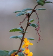 "berberis darwinni • <a style=""font-size:0.8em;"" href=""http://www.flickr.com/photos/99468393@N08/16223022464/"" target=""_blank"">View on Flickr</a>"