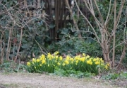 "daffodils • <a style=""font-size:0.8em;"" href=""http://www.flickr.com/photos/99468393@N08/16223019824/"" target=""_blank"">View on Flickr</a>"